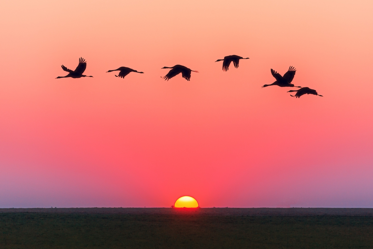 Ducks flying across a sunset sky